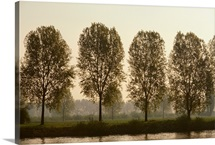 A row of poplar trees along the banks of the Rhine River, Switzerland