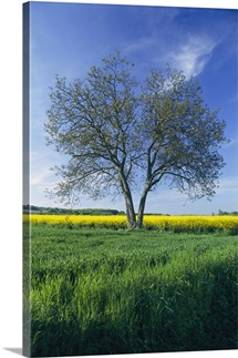 A single tree in a field with yellow rape fields behind it, in Burgundy