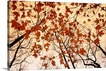 A skyward view of the bare branches and autumn leaves of red maples, Georgia