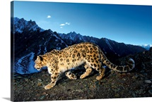 A snow leopard traverses a rocky slope