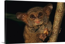 A tarsier eating, Tangkoko-Duasudara Nature Reserve, Sulawesi, Indonesia