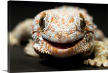 A tokay gecko, the Sunset Zoo, Manhattan, Kansas, United States of America