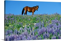A view of a wild horse in a field of wildflowers in the Pryor Mountains, Montana