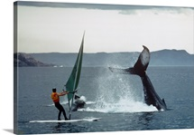 A windsurfer has a close encounter with two humpback whales
