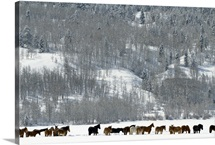 A winter scene of a herd of horses standing in a field wait to be fed