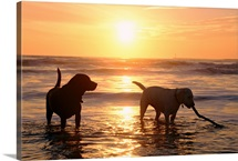 A yellow and chocolate Labrador retriever play in the water at sunset, Half Moon Bay, California