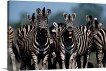 A zebra in a herd vocalizes at the camera, Moremi Game Reserve, Botswana