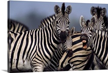 A zebra in a large herd vocalizes directly at the camera, Africa