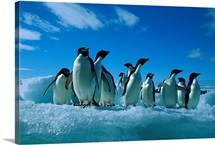 Adelie Penguin group on iceberg, Paulet Island, Antarctica