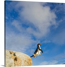 Adelie penguin jumping across deep ravine against blue sky and clouds