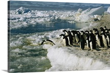 Adelie penguins into the icy Antarctic waters