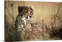 African cheetah, Acinonyx jubatus jubatus, resting in the tall grasses of the savanna