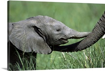African Elephant baby and mother touching trunks, Tanzania