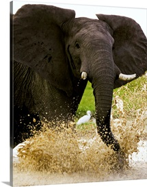 African elephant charging with ears splayed in aggressive posture