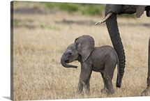 African Elephant mother and calf, Masai Mara, Kenya