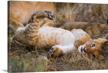 African Lion cub sprawling on back, Masai Mara National Reserve, Kenya