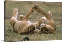African Lion cubs playing, Serengeti National Park, Tanzania