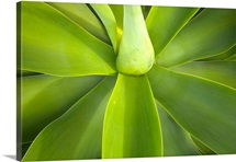 Agave attenuata of Mexico has edible flowers, leaves, stalks and sap