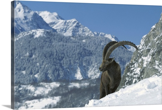 Alpine Ibex, France