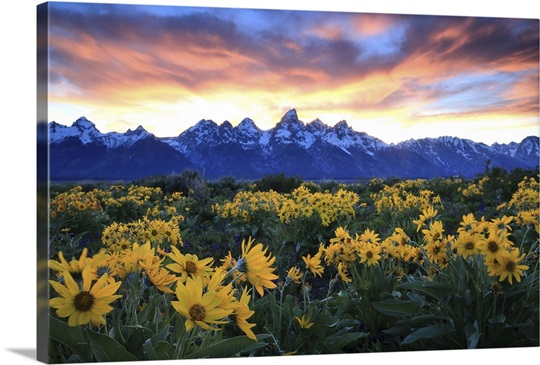 Alpine Sunflowers Illuminated By A Glowing Sunset Over