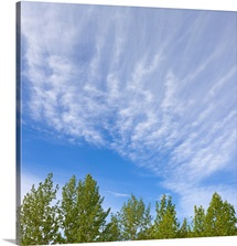 Altocumulus clouds in a blue sky over green aspen trees canopies