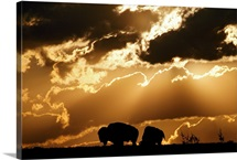 American bison graze beneath clouds, Witchita Mountains Wildlife Refuge, Oklahoma