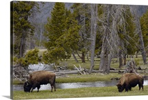 American Bison pair grazing, Yellowstone National Park, Wyoming