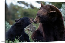 American black bear and cub, Yellowstone National Park, Wyoming