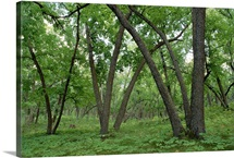 American Elm forest in Sully Hill National Wildlife Refuge, South Dakota