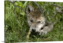 An 8-week-old gray wolf pup, Canis lupus, peers from a hiding spot