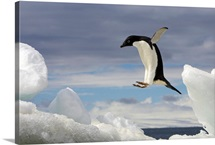 An Adelie penguin, Pygoscelis adeliae, jumping on an iceberg
