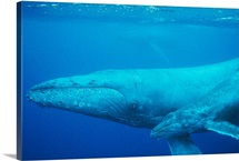 An adult and juvenile humpback whale glides gracefully through the Pacific, Maui Island, Hawaiian Islands