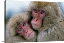 An adult and juvenile Japanese macaque huddled together, Honshu Island, Japan