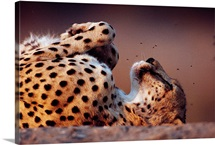 An African cheetah sleeping on its back, Namibia, Africa