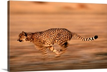 An African cheetah sprinting at top speed, Okavango Delta, Botswana, Africa