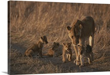 An African lioness and her three-month old cubs