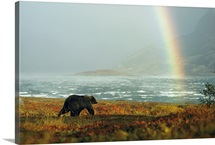 An Alaskan brown bear and rainbow near Nonvianuk Lake, Alaska