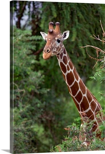 An alert giraffe, Kenya