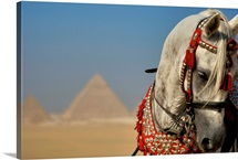 An Arabian Stallion stands before the Great Pyramids of Giza
