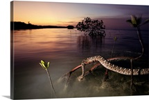 An eastern diamondback rattlesnake rests on a mangrove tree, Everglades National Park, Florida
