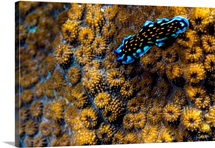 An elegant Linda's flatworm moves across the volcanic-like surface of a hard coral