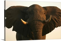 An elephant takes an aggressive stand after charging