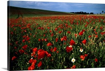 An expansive field of red poppies with a cloud filled blue sky in the background