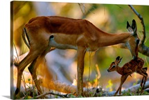 An impala, grooming her young calf, Mombo, Okavango Delta, Botswana