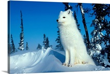 Arctic fox, Hudson Bay, Canada