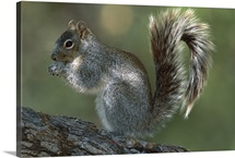 Arizona Gray Squirrel feeding, Santa Rita Mountains, Arizona