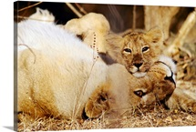 Asian lions (Panthera leo persica), mother and cub, Gir Forest, Gujarat State, India