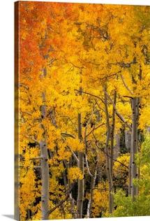 Aspen trees in bright autumn colors