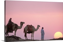 Bedouins camels at sunset, Oasis Dakhia, Great Sand Sea, Sahara Desert, Egypt