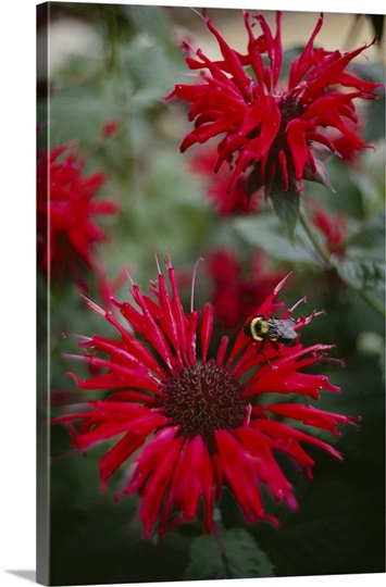 Bee resting on a red blooming bee balm flower